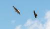 Bald Eagle (Haliaeetus leucocephalus) being chased by a Peregrine Falcon (Haliaeetus leucocephalus).  The peregrine did not belong to the park.  at Parque Condor, Otavalo, Ecuador