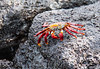 Red-rock Crab aka Sally Lightfoot Crab (Grapsus grapsus)