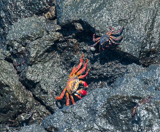 Red-rock Crab aka Sally Lightfoot Crab (Grapsus grapsus)