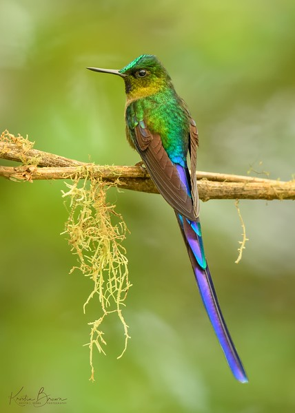 Violet-tailed Sylph