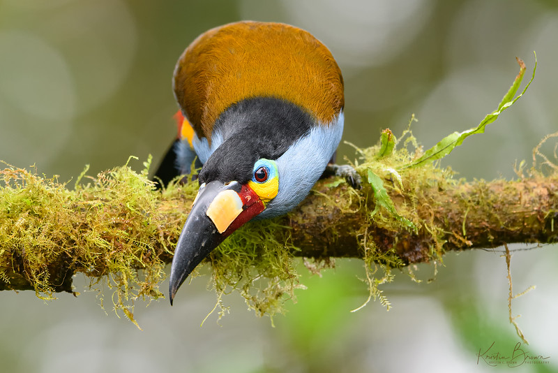 Plate-billed Toucan