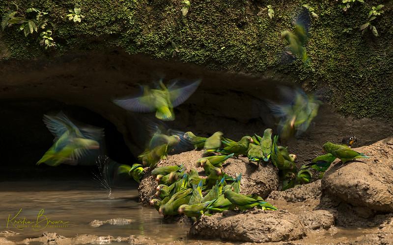 Parakeets at Clay Lick in Ecuadorian Amazon