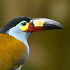 Plate-billed Toucan Portrait