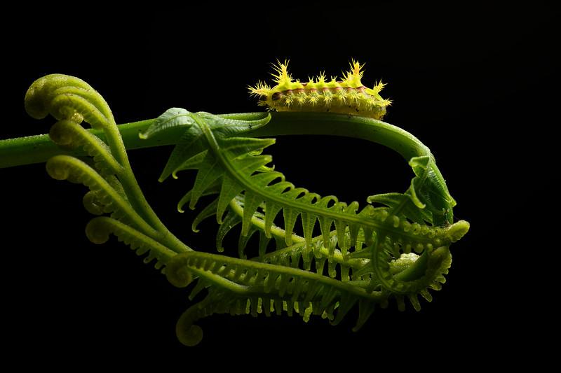 Limacodidae Caterpillar on Frond