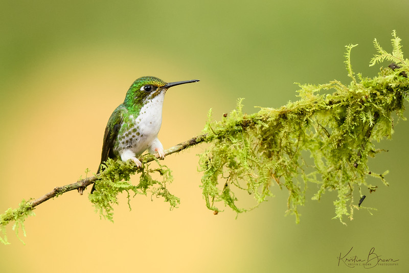 Female Booted Racket-tailed Hummingbird