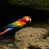 Scarlet Macaw at Clay Lick