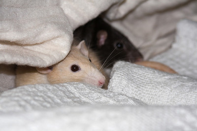 Friends pet rats - Edgeworth & Gumshoe. All rats are entertaining little characters, so it's just a matter of plonking them down and shooting.