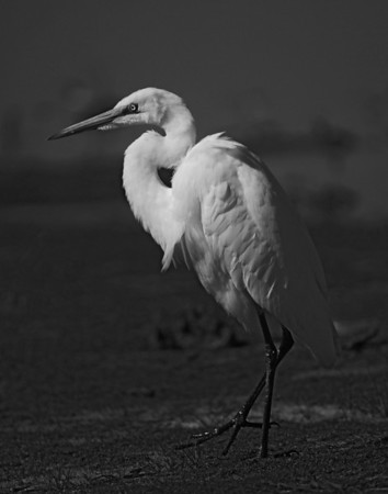 Egrets and Blue's