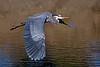 Great Blue Heron at Los Gatos Creek Park.