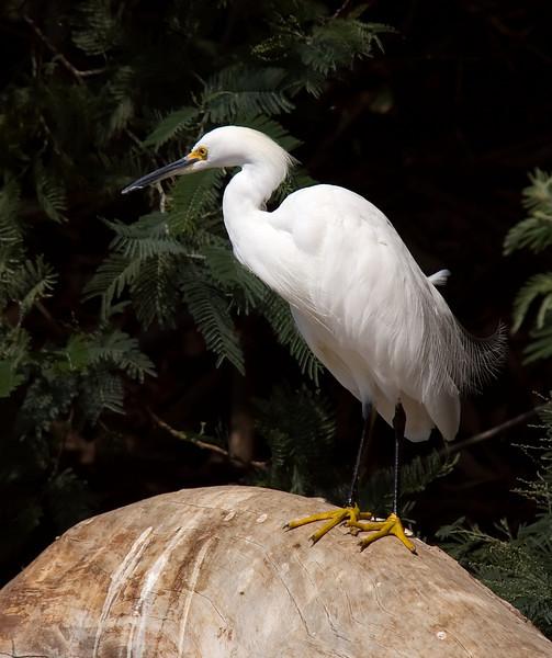 A Snowy Egret in Vasona Park, Los Gatos, California.
