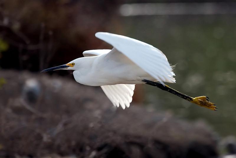 A Snowy Egret flying at Vasona Park, Los Gatos, California.
