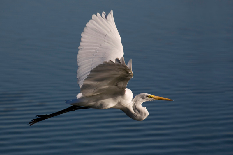 Great White Egret flying over the water.
