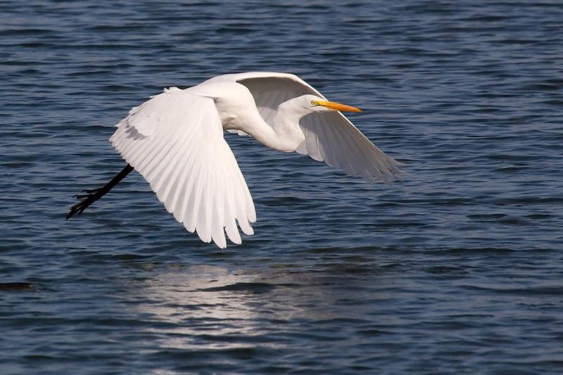 A Great White Egret taking advantage of areodynamic ground effect.
