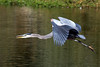 A Great Blue Heron in Vasona Park, Los Gatos, California.
