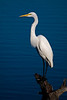 Great White Egret at Los Gatos Creek Park.