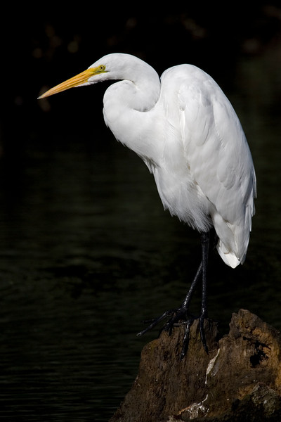 Great White Egret at Vasona Park, Los Gatos, California.