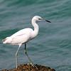 Little blue heron (immature) - Miami Beach