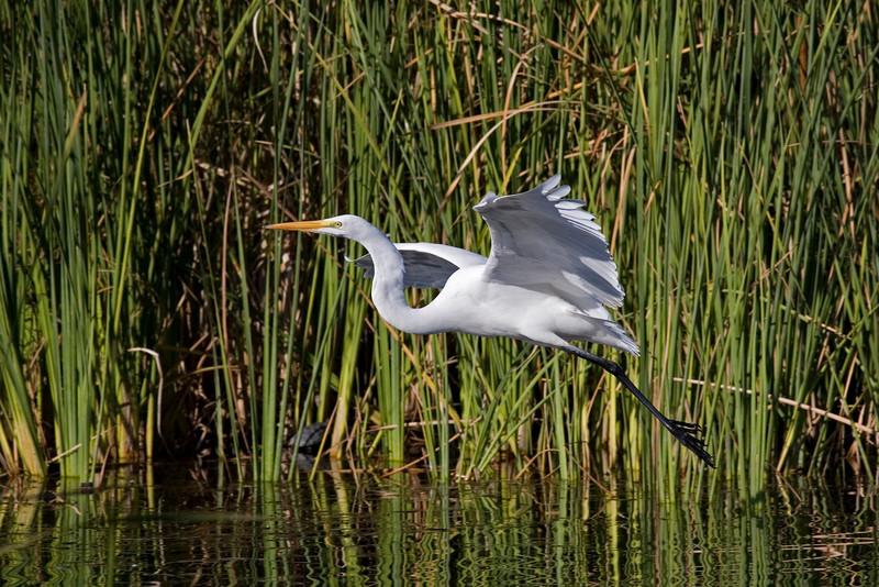 Great White Egret at Los Gatos Creek Park.