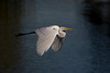 A Great White Egret in flight.