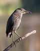 Night Heron in early morning light.<br /> Los Gatos, California.