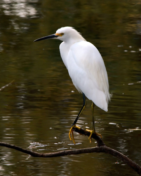 A Snowy Egret looking for a meal.