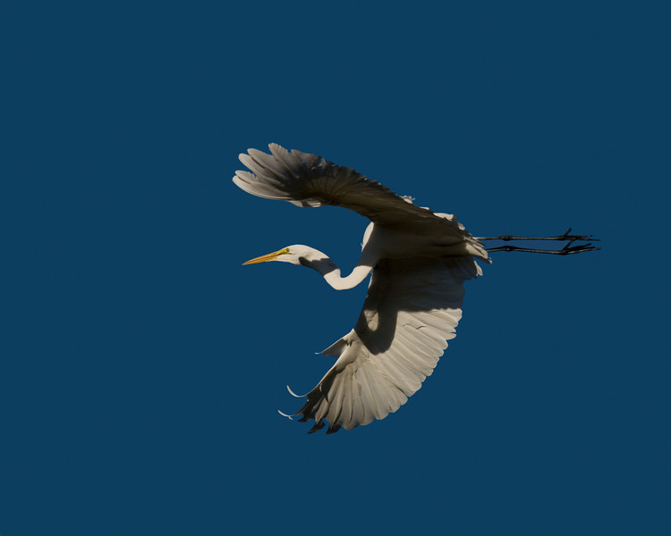 Great White Egret flying overhead