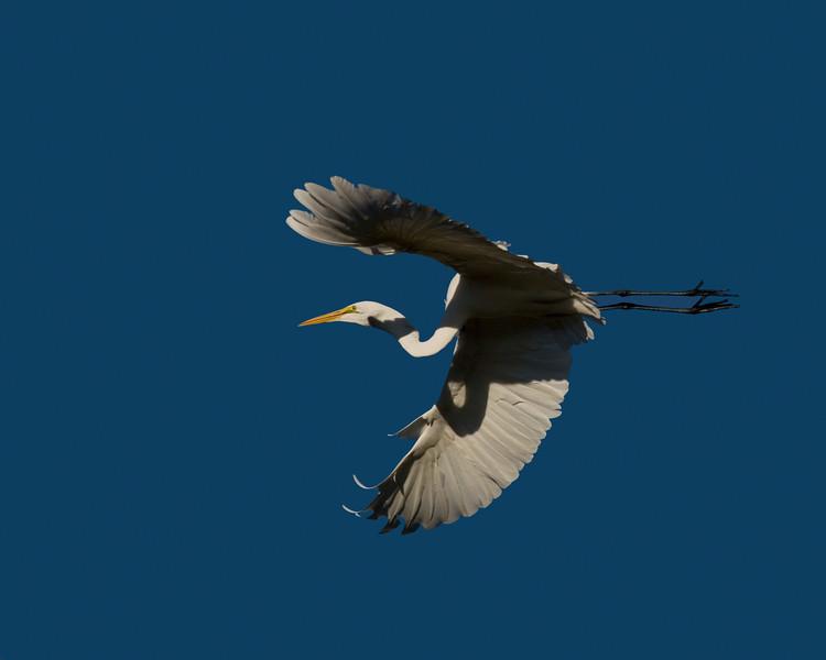 Great White Egret flying overhead