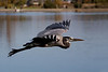 Great Blue Heron at Los Gatos Creek Park.