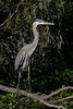 Great Blue Heron at Vasona Park