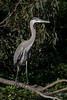 Great Blue Heron at Vasona Park
