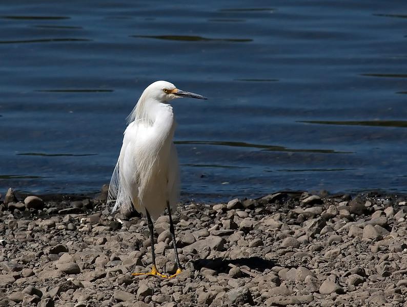 Snowy Egret (Egretta thula) at Lake Vasona in Los Gatos, Califronia.