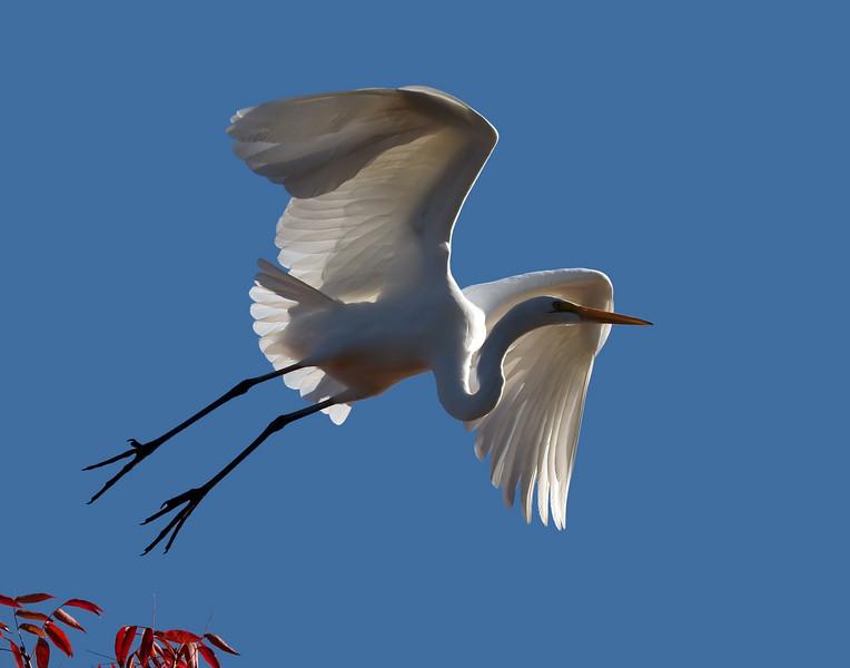 A Great White Egret in Vasona Park, Los Gatos, California.