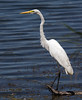 Great White Egret