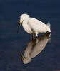 A Snowy Egret contemplates his reflection.