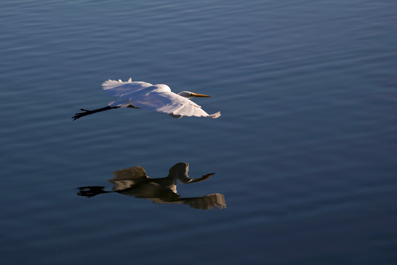Great White Egret flying with his refletion