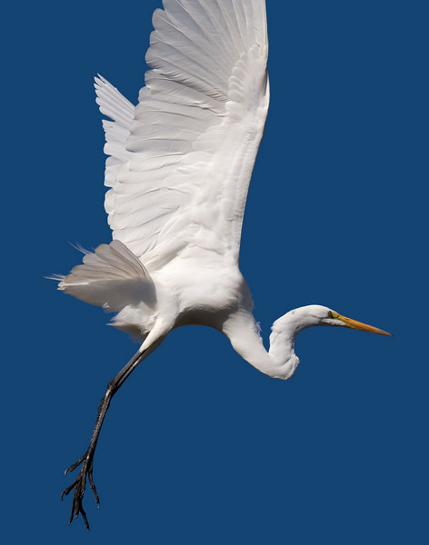 A Great White Egret in Vasona Park, Los Gatos, California.