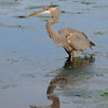 Great Blue Heron<br /> Wakodahatchee Wetlands, Florida