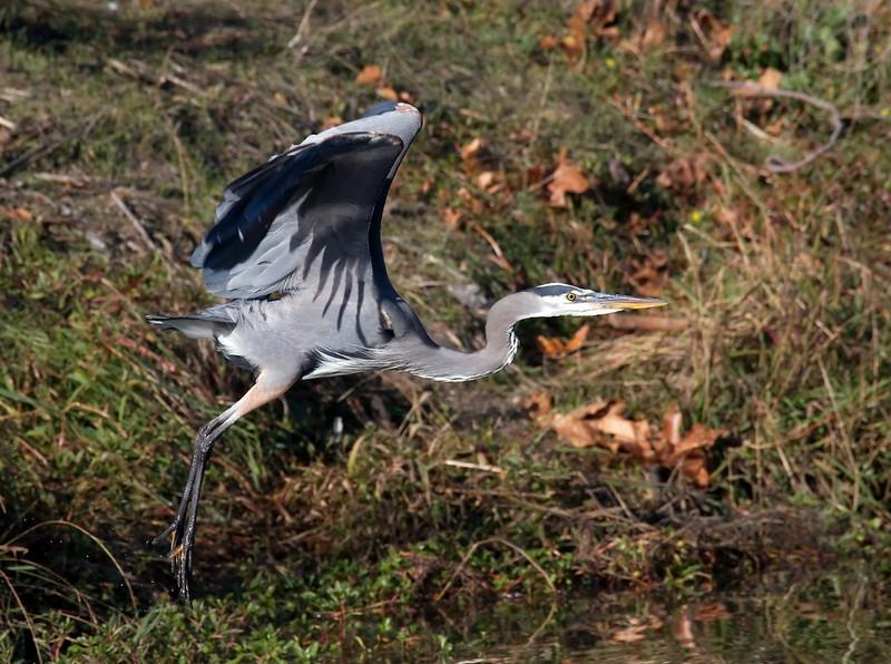 A Great Blue Heron in Vasona Park, Los Gatos, California.