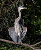 Great Blue Heron at Vasona Park, Los Gatos California.