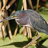 Green Heron<br /> Green Cay Wetlands, Florida