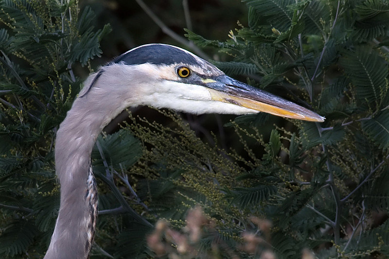 The head of a Blue Heron