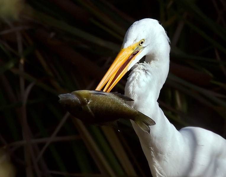 A Great White Egret displaying his catch.