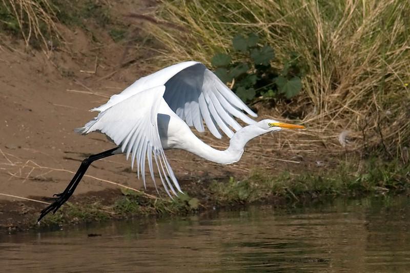 A Great White Egret taking flight.