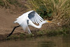 A Great White Egret taking flight.