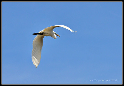 Great Egret in flight. Blackpoint Wildlife Drive.