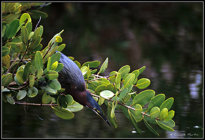 Green Heron about to strike.