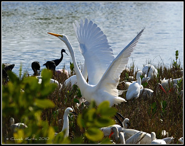 Great Egret taking flight.