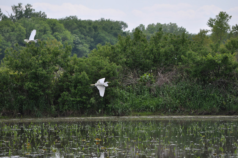 Great Egrets at the Baker Wetlands