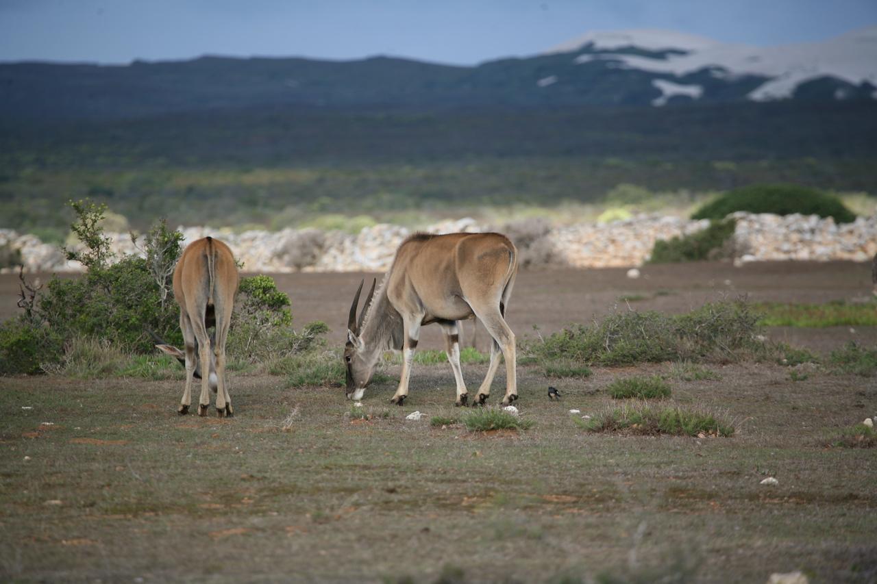Eland (Taurotragus oryx) at the De Hoop Nature Reserve