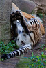 4583 Tiger at rest